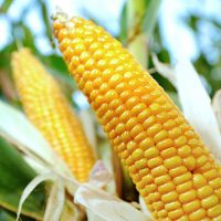 €‹US corn exports to China drop 85 percent after ban on GMO strains industry report