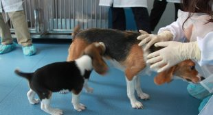 Copy, Paste! China Clones First Genetically Engineered Canine