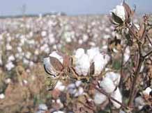 Karnataka bans sale of Mahyco's cotton seeds
