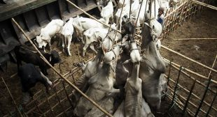 Slaughterhouse workers are more likely to be violent, study shows