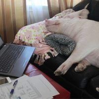 9 Ways Pigs Are Smarter Than Your Honor Student