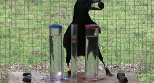 Crows' reasoning ability rivals that of seven-year-old humans
