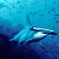 Latin America Researchers Discover Million-Year-Old Hidden Home of Hammerhead Sharks in Galapagos