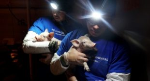 The FBI's Hunt for Two Missing Piglets Reveals the Federal Cover-Up of Barbaric Factory Farms