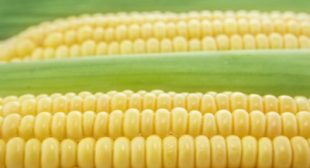 France Stands Up to Monsanto, Bans Seed Giant's GMO Corn