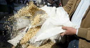 French government bans GM maize MON 810
