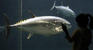 Deepwater Horizon oil spill cause fatal heart defects in tuna