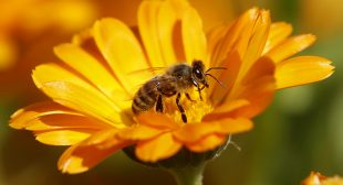 Half of European bumblebees in decline, quarter face extinction